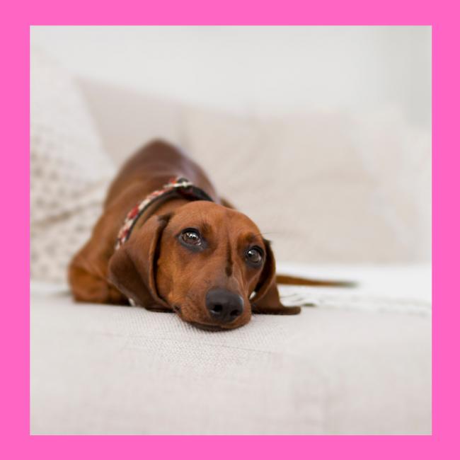 """Pin's chien """"Teckel"""" Coucou Suzette"""