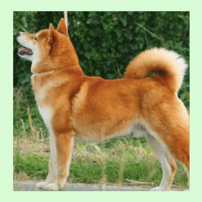 "Pin's chien ""Shiba"" Coucou Suzette"
